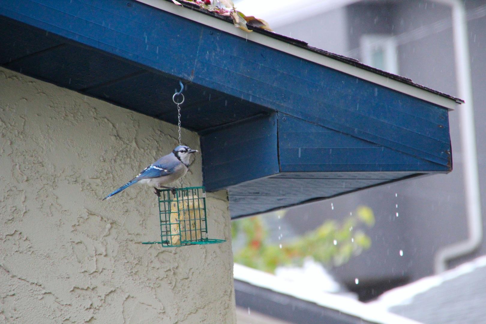 001 - Blue Jay