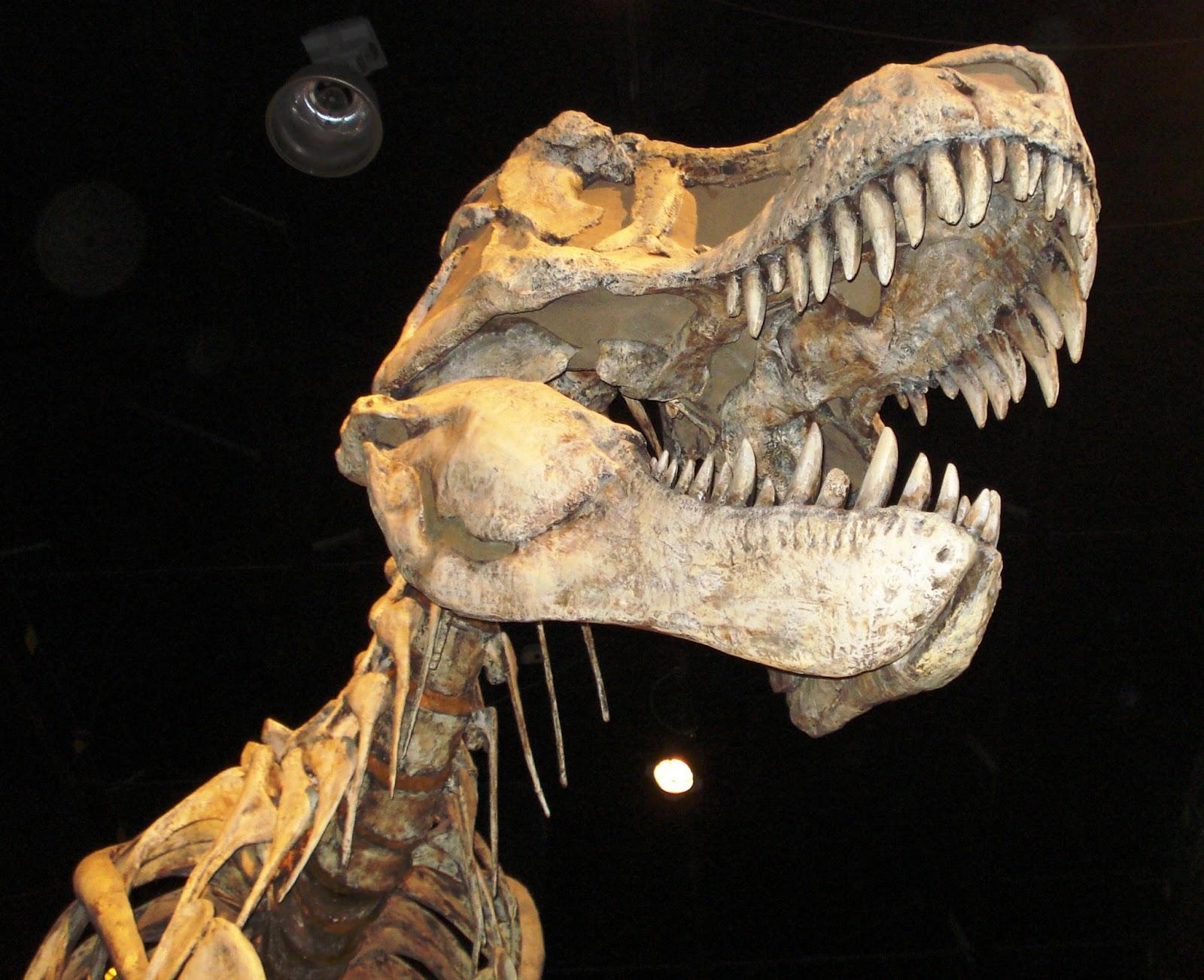 002 - Tyrannosaurus Rex Skeleton