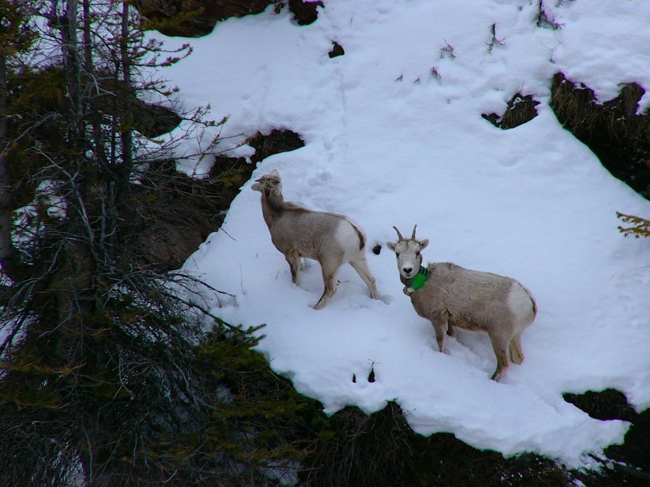 003 - Bighorn Sheep