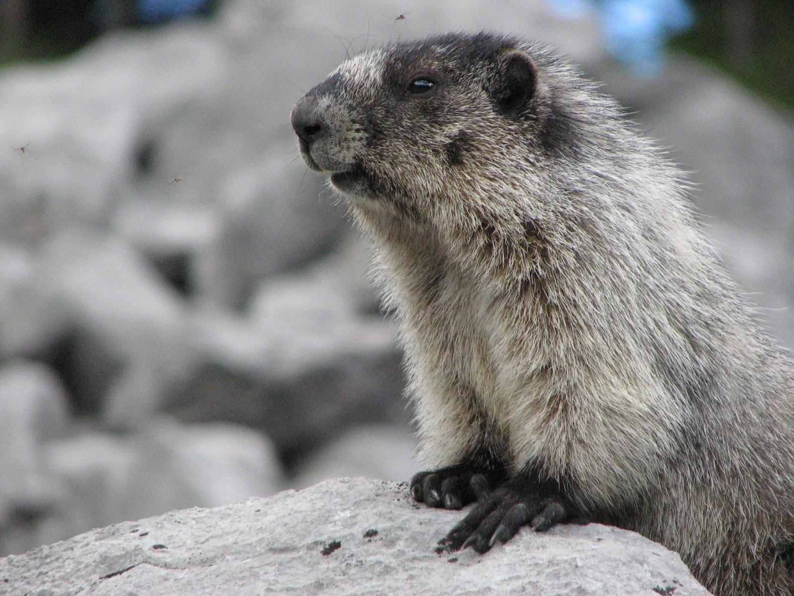 003 - Hoary Marmot