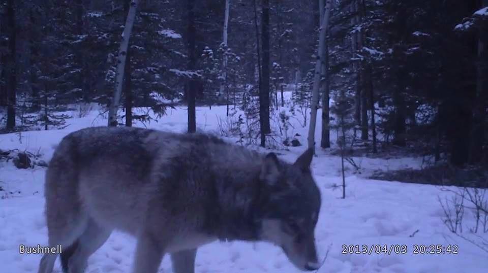 004 - Grey Wolf