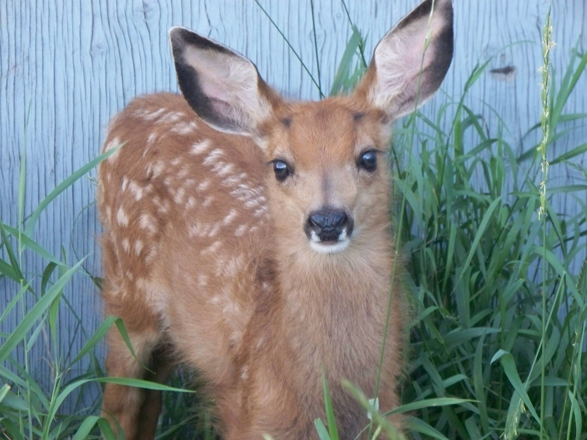 004 - White-Tailed Deer Fawn