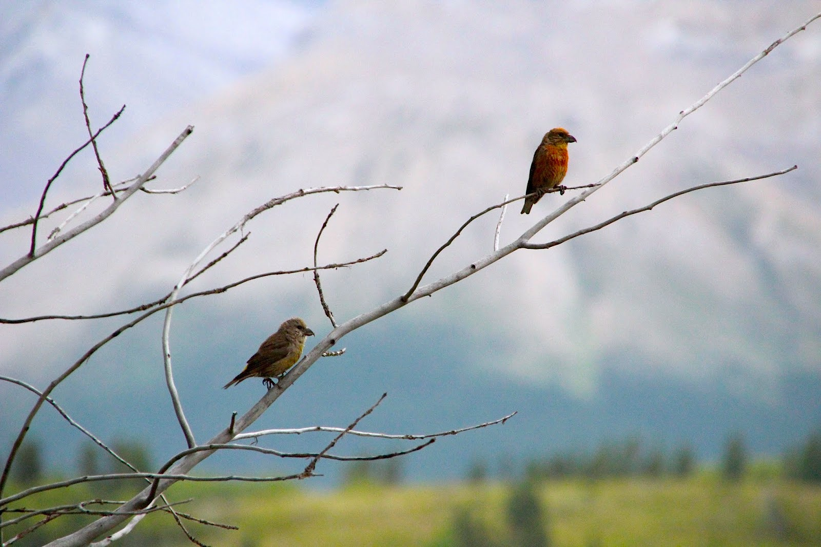 005 - Red Crossbills