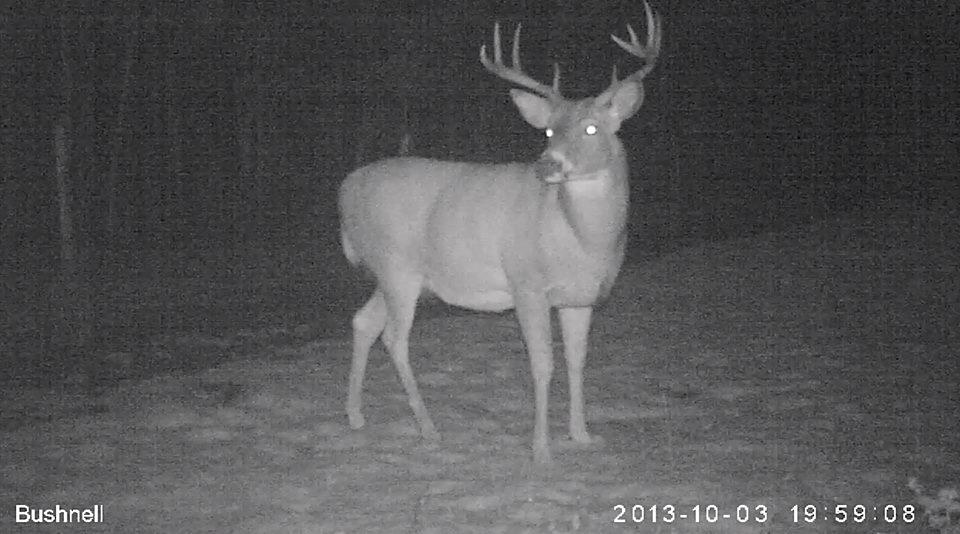 005 - White-Tailed Buck