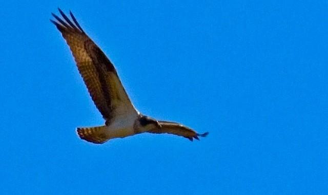 Eagle Migration