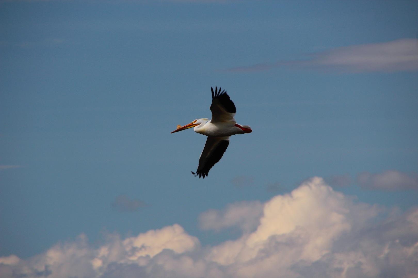 006 - Pelican