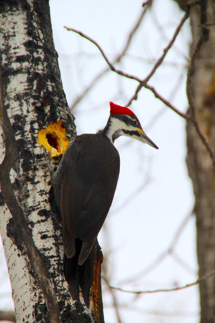 007 - Pileated Woodpecker