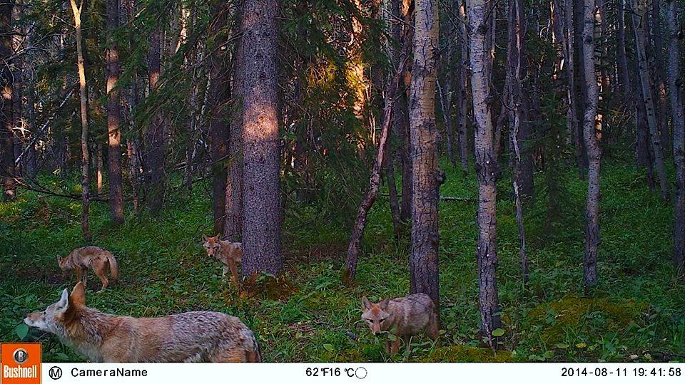 008 - Coyote & Pups