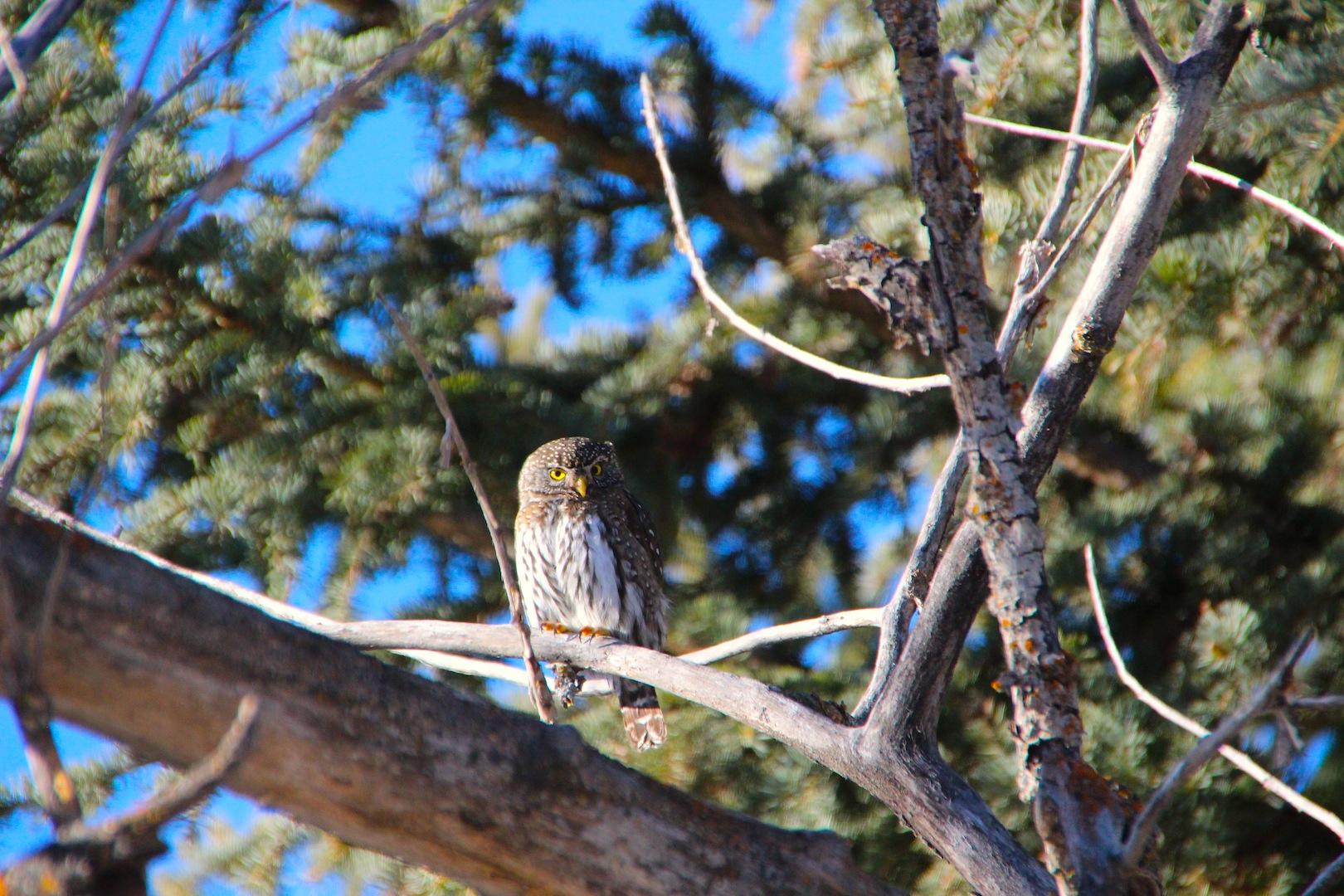 008 - Northern Pygmy Owl