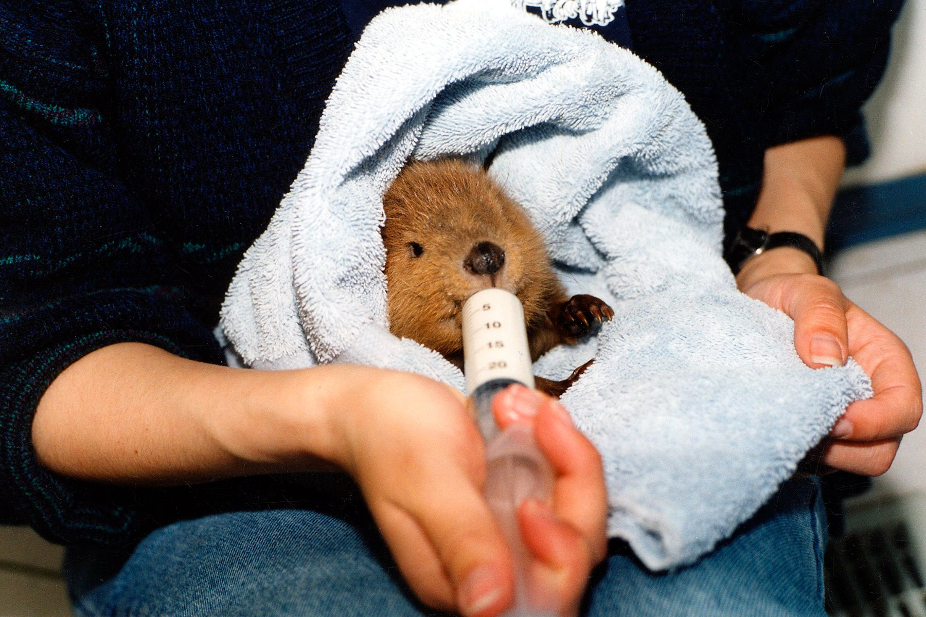 009 - Baby Beaver