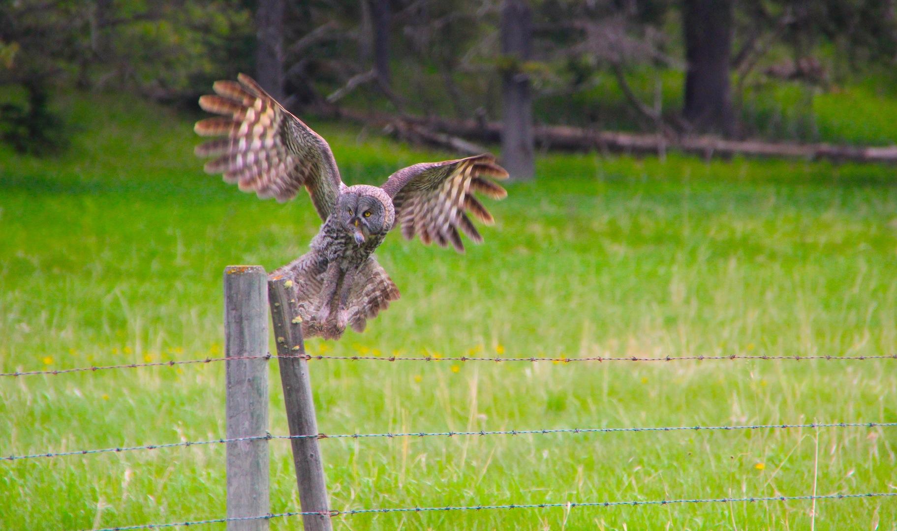 009 - Great Grey Owl