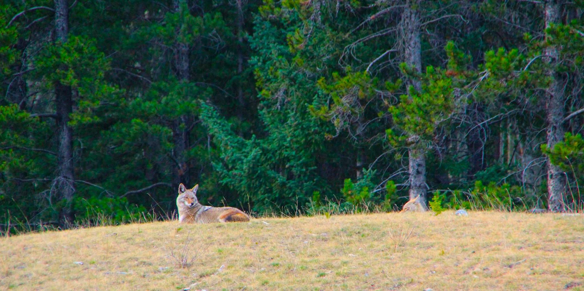 Coyote 04