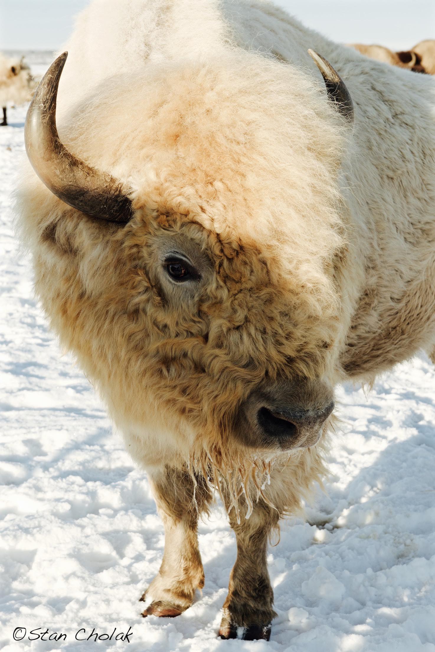 White Bison 01