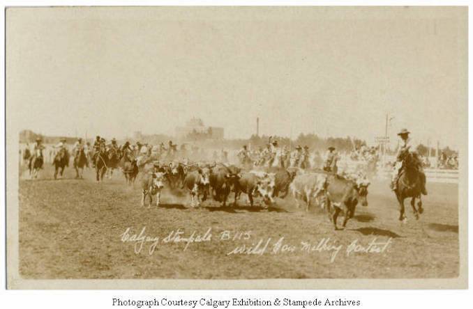 1930 - Wild cow milking contest, Calgary Stampede
