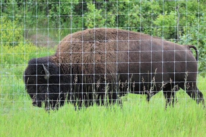 Bison of Elk Island 9