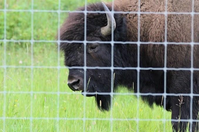 Bison of Elk Island 10