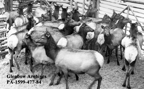 Bow Valley - Historical Photos from Canmore and the Bow Valley