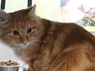 Liam orange cat calgary