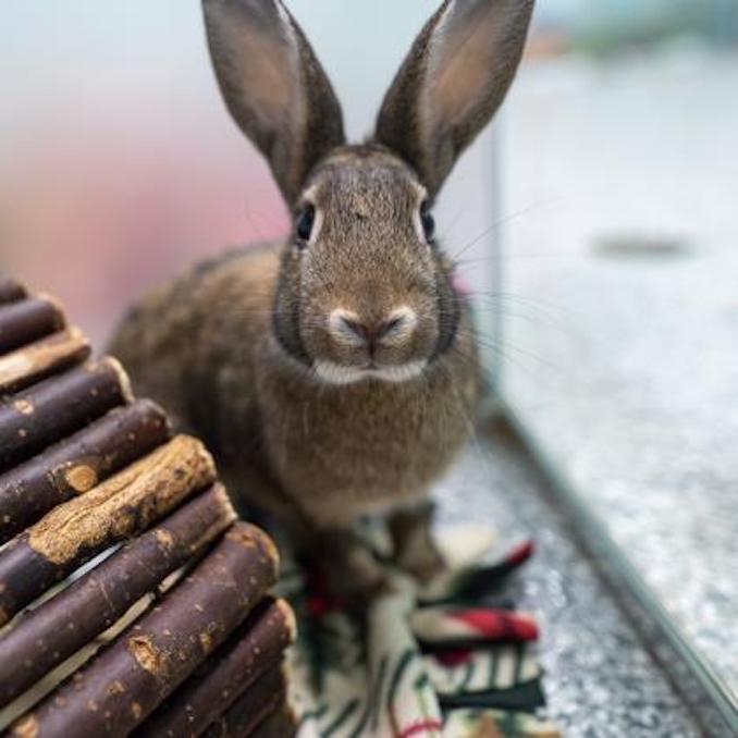 belle rabbit calgary